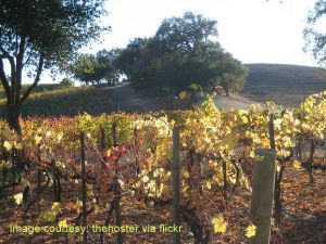 Paso Robles Winery Wedding vines view
